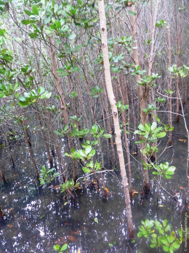 Большим количеством видов (до 30) отличаются восточные мангровые заросли (побережье Индийского и Тихого океанов). Менее богатыми (до 4 видов) в этом плане считаются западные мангры (побережья Атлантического и Тихого океанов).