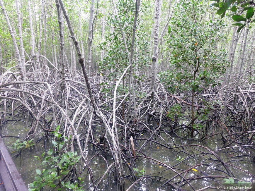 В самих манграх может наблюдаться зональность размещения видов, т.к. одни могут выдерживать наиболее сильные показатели засоления (например, род Avicennia), а другие могут расти в условиях, соленость которых не выше солености морской воды.