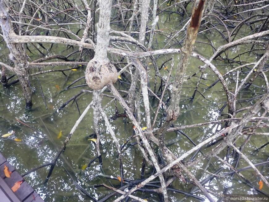 Соседний уникальный мангровый лес их совершенно не интересовал на том этапе (ведь он затапливался), но со временем и его наверное осушили бы. А вот холмы и прибрежная зона им очень приглянулись, и они моментально начали высаживать там бананы, ананасы и кокосовые пальмы.