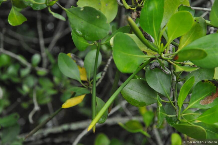 Манграм присущ особый вид размножения – вивипария или живорождение. Суть этого способа заключается в прорастании семян на материнском растении в ещё не зрелых плодах (это вот эти зеленые типа стручки). При достижении длины 50-70 см, проростки отпадают и сразу крепятся к илистому морскому грунту.