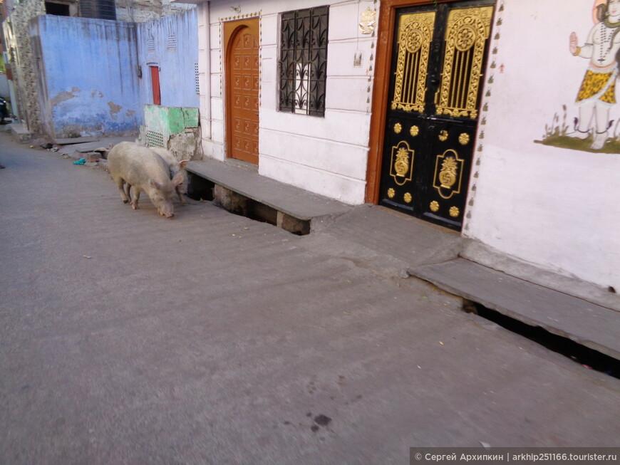 Свиньи в столице штате Раджастана в городе Джайпур