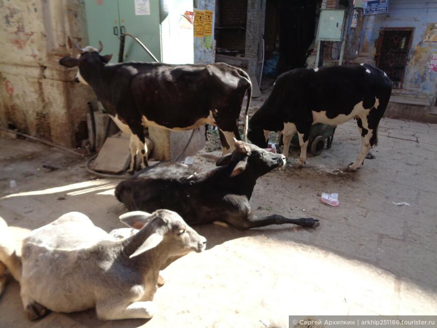 На улицах в индийских городах много животных - от коров, которые даже ходят по вокзалам, до свиней и коз и лошадей