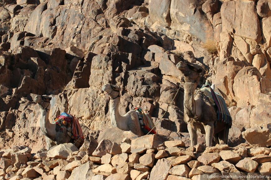 Корабли пустыни. Преданные спутники бедуинов.