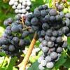 В октябре начинается сбор винограда