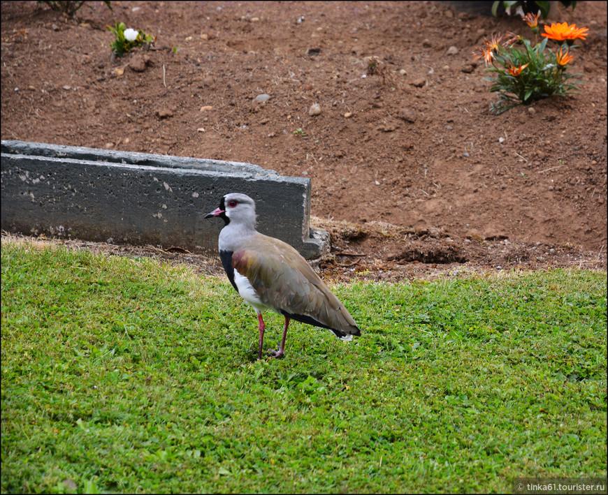 Очень много повсюду вот таких птичек. Спросила у местных, как он  называются.  Трейле, говорят. Не знаю , что это за птичка такая.
