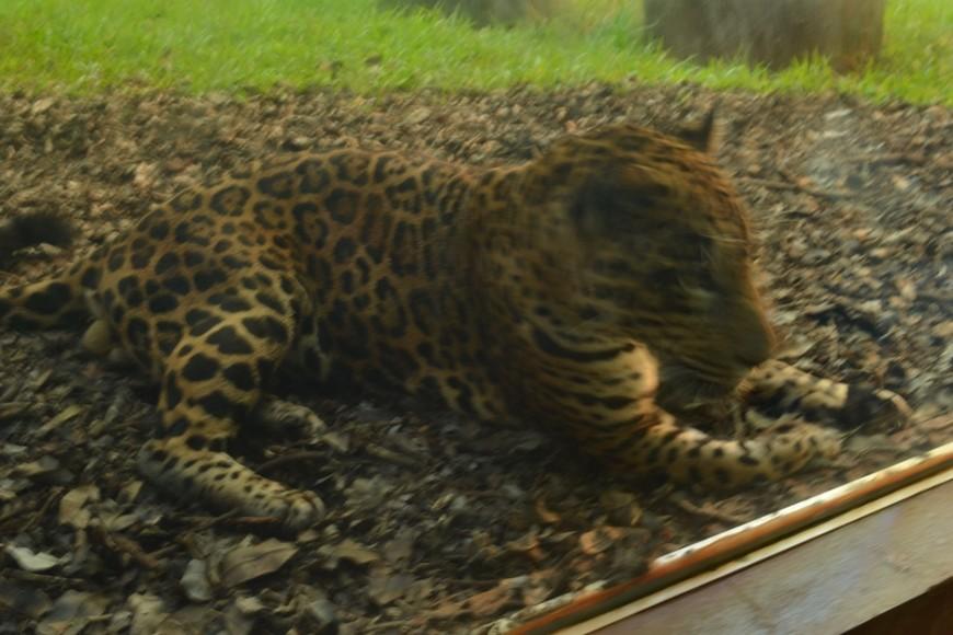 Леопард в питомнике при заповеднике гидроэлектростанции Итайпу