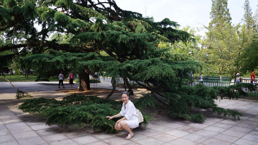 Вот такие развесистые хвойные деревья можно увидеть в парке.