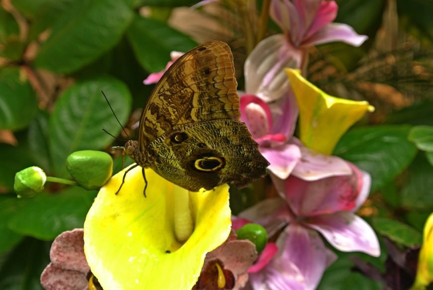 Дом бабочек, похож на тропическую оранжерею, где обитает огромное количество простых и экзотичных бабочек. На фото бабочка сова.
