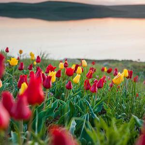 Тюльпановый рай степного Крыма