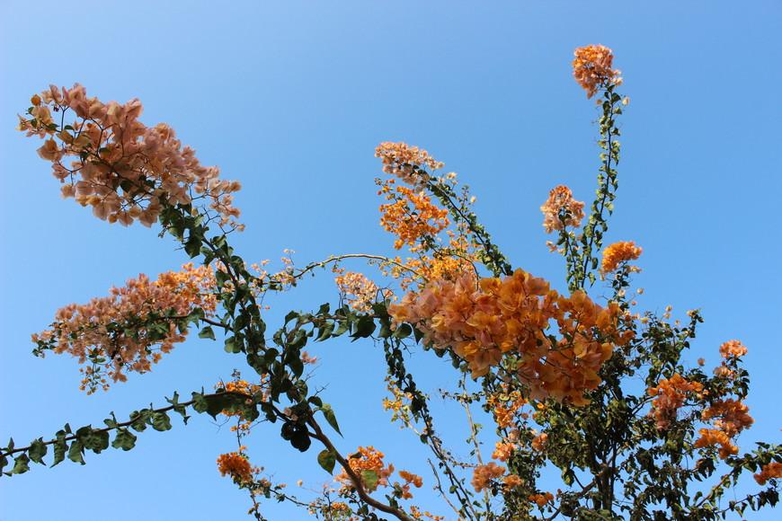 Зато растут чудесные бугенвиллеи разных цветов