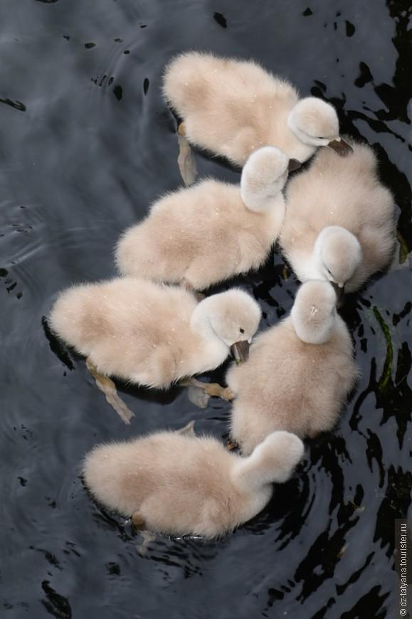 Маленькие лебеди