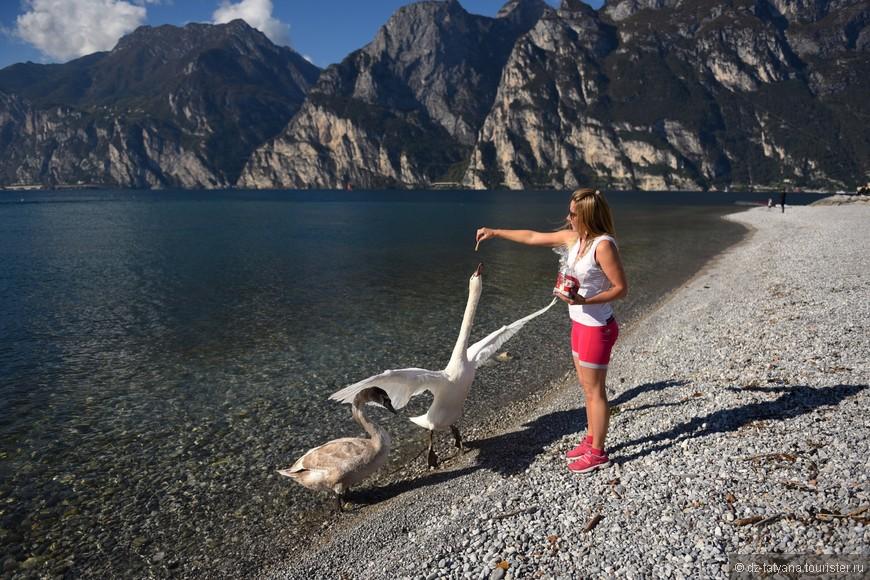 Кормлю лебедей на озере Гарда.