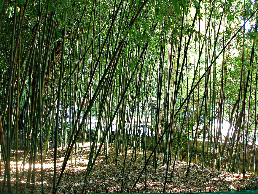 Вся эта роща - одно бамбуковое дерево.
