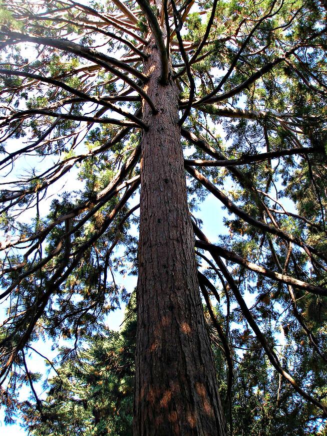 Мамонтово дерево.