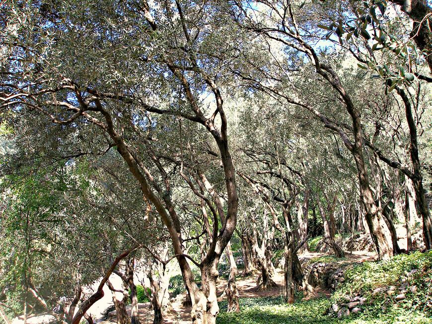 Оливковая роща.