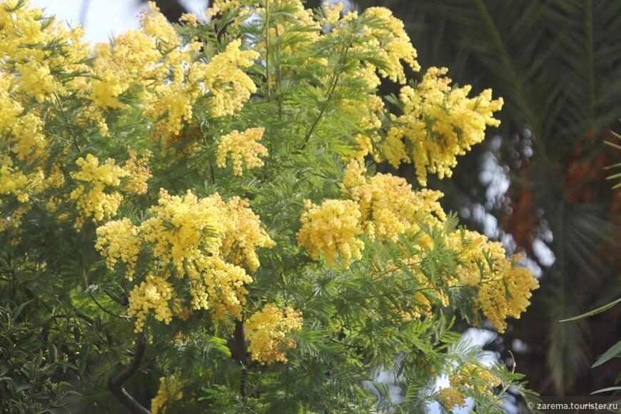 Мимоза на Лигурийском побережье в каждом саду и на каждом углу ... не налюбуюсь этим цветением.