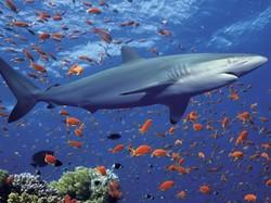 Карибское море может лишиться хищников