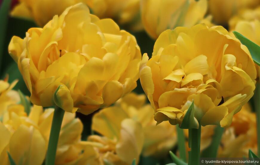 А это уже не нарциссы, а тюльпаны.