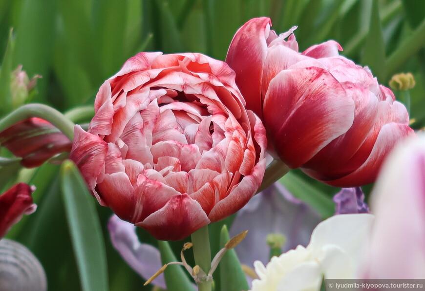 Пионовидный тюльпан.
