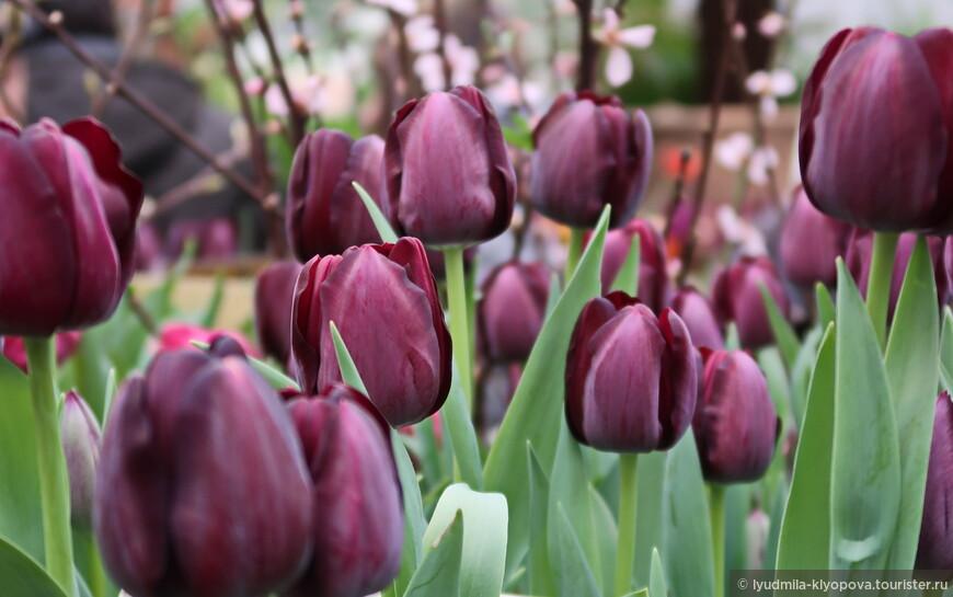 """Здесь есть и самые тёмные тюльпаны — """"Королева ночи""""."""