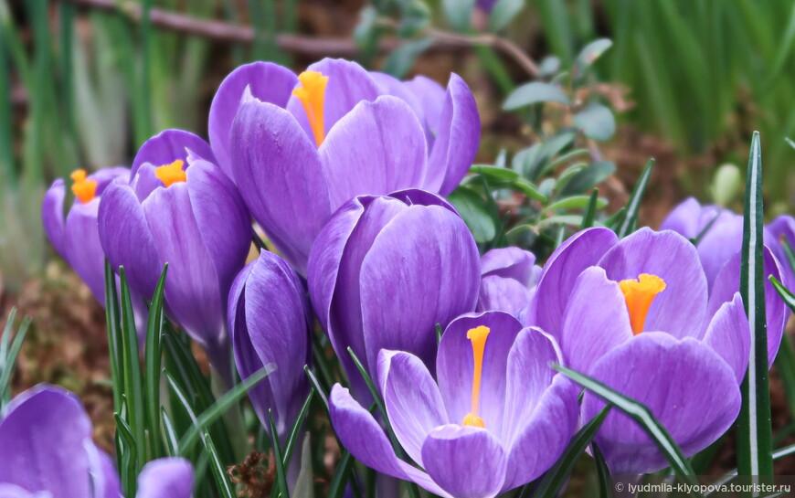Эти крокусы отличаются от предыдущих и листьями, и формой цветка.