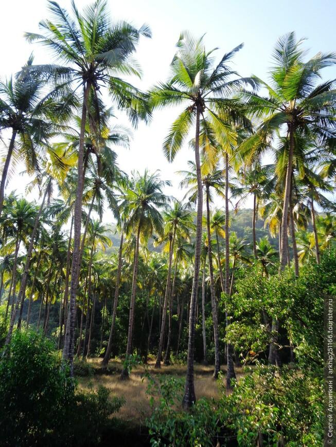 Если немного отойти от пляжа, то начинаются красивые пальмовые рощи