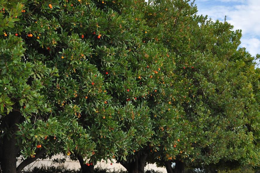 Вдоль дороги нам встречались обширные плантации спеющей клубники и цитрусовые рощи с оранжевыми плодами.