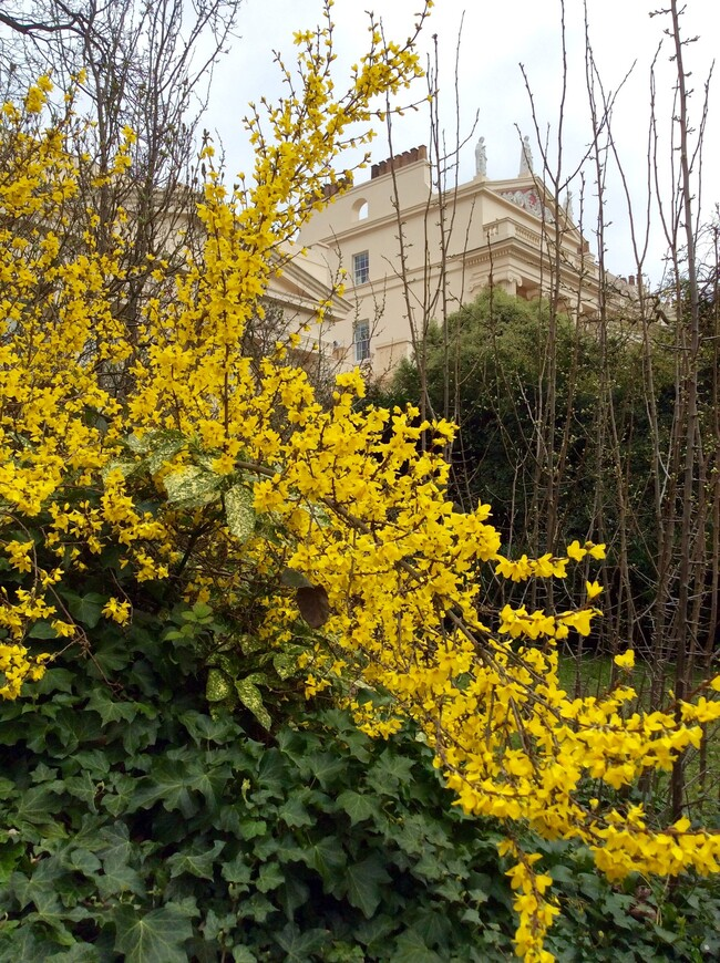 Форцисия цветёт в Великобритании всю зиму.