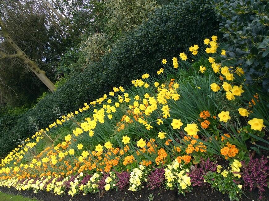 Темно-желтые примулы и бордоватого цвета вереск повсюду украшают клумбы страны всю зиму.  Примулы обречены на увядание наступлением высокой весенней температуры. Зима - бонанза для примул!