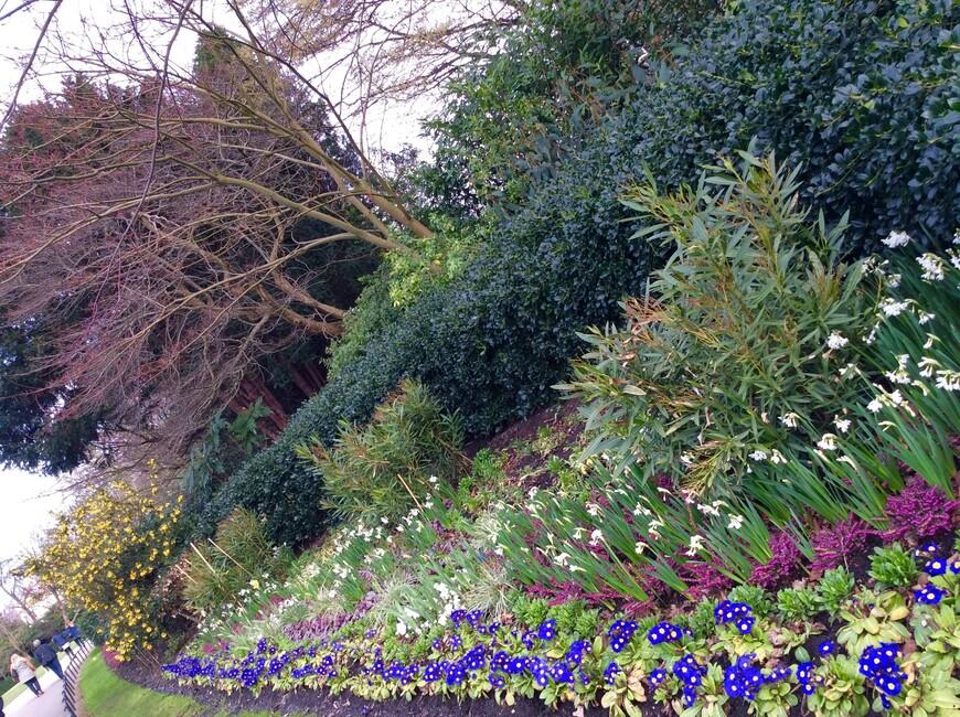 Сапфирового цвета - зимние вездесущие примулы.