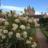 Гортензия в садах замка Кодор достигает размеров хорошего кустарника