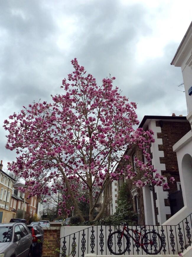 Магнолии, как правило, цветут бледно-розовым цветом. Реже таким пурпурным или белым цветом.