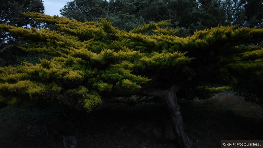 Деревья причесанные вековыми океанскими ветрами