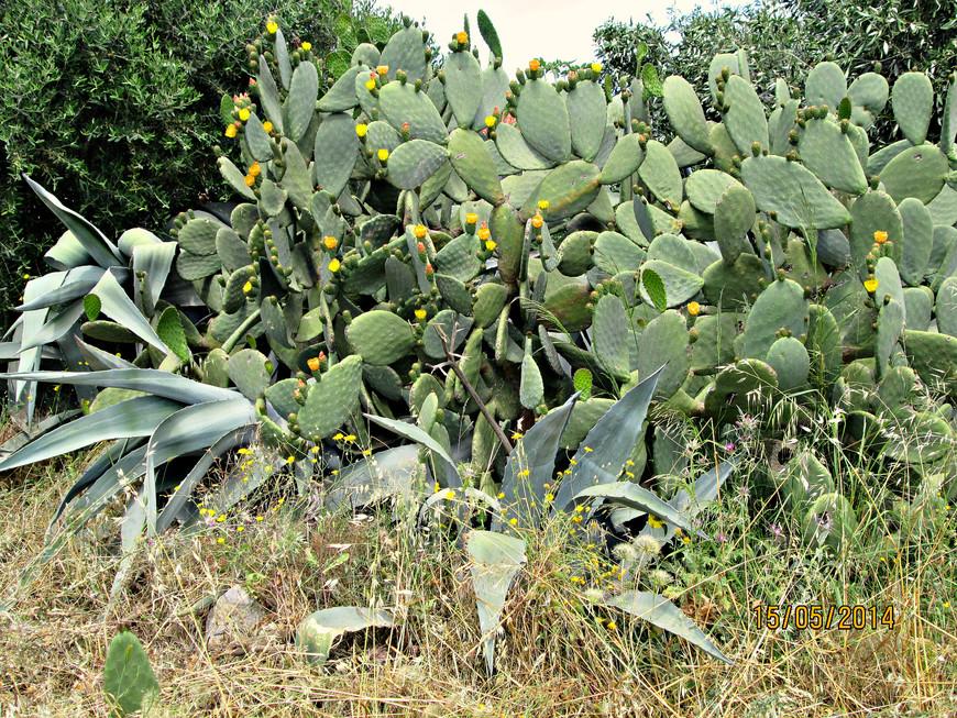 Затем дома кончились, и мы набрели на заросли кактусов.