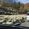 Пробка из овец