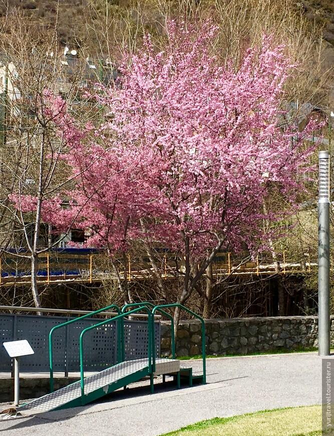 Середина марта ...  Зацвела сакура ...