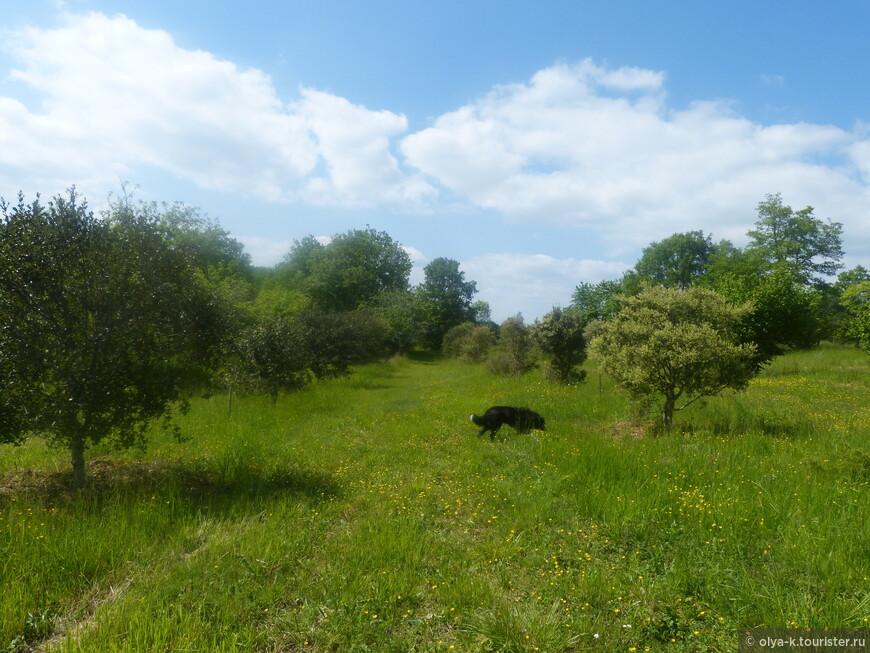 Трюфельная ферма в начале лета. Трюфель созревает под землей на глубине 10-15 см. Растет он только под зеленым и черным пиренейским дубом и орешником, в тесном симбиозе с корнями.  Поэтому и земля вокруг этих деревьев сухая, словно выженная.