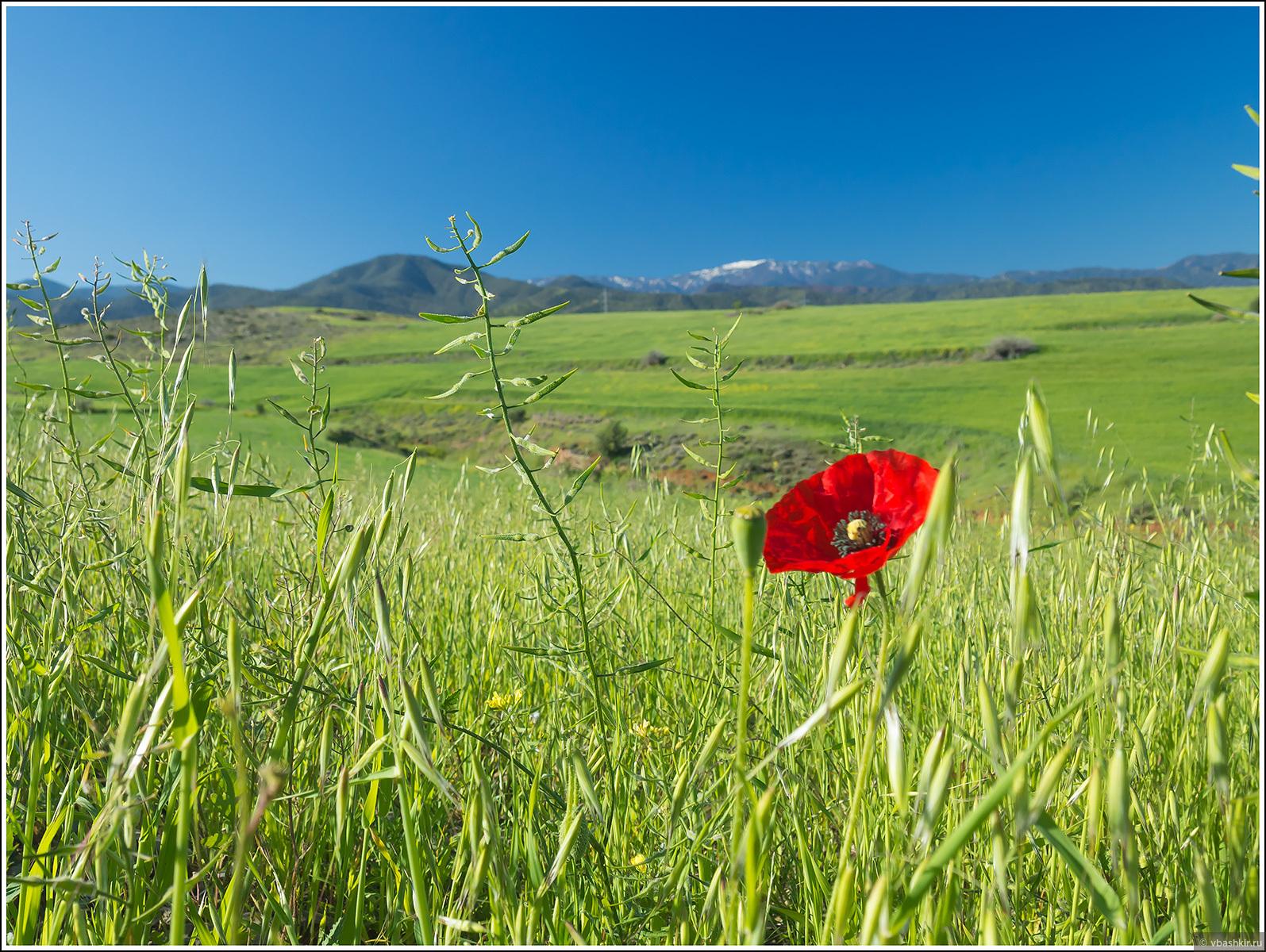Цветущий мак и снежные вершины Троодоса вдали., Весенний Кипр