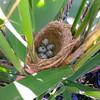 Гнездо кармарана