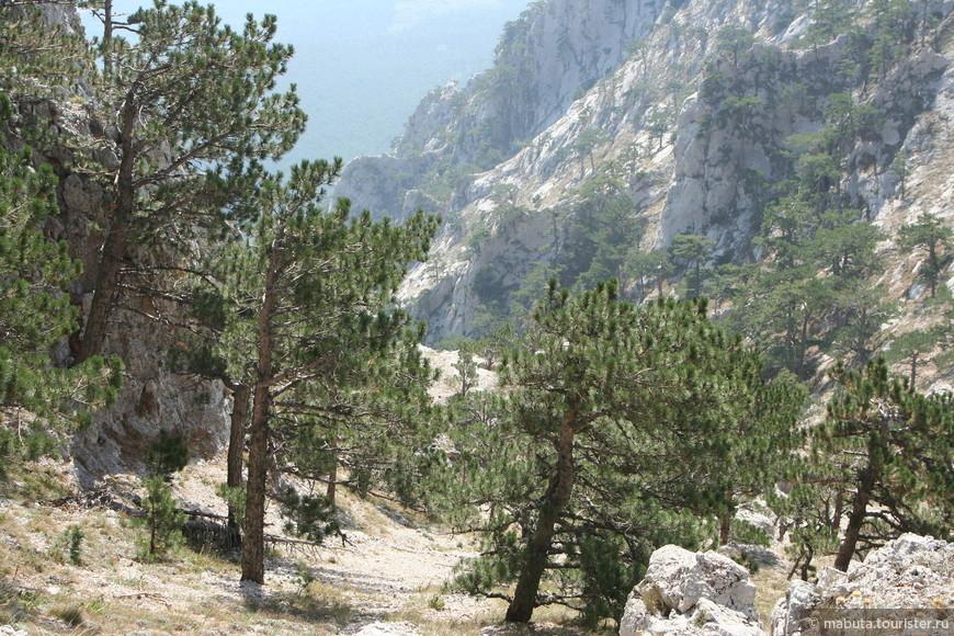 На Ай-Петри насчитывается более 600 видов древесно-кустарниковых и травянистых растений. Крымские сосны придают особую прелесть этому уголку.