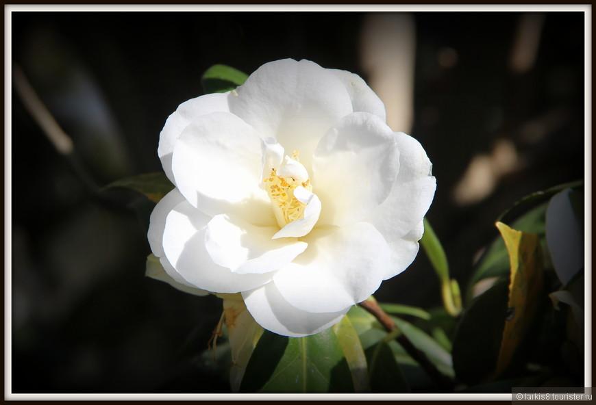 И белый вариант этого цветка с крахмальными лепестками...