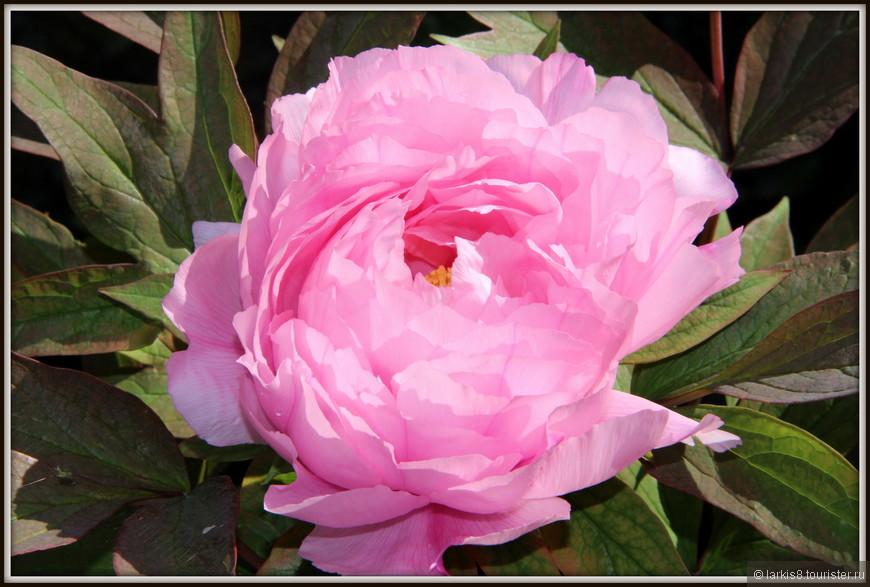 Май - очень короткая пора цветения моих любимых пионов. Царские цветы с невероятным запахом!