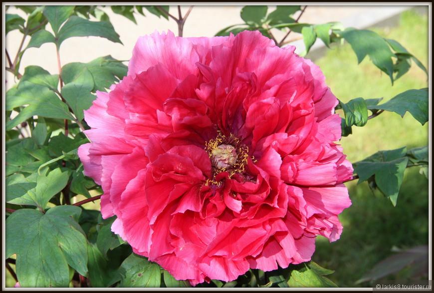 Вот что может сравниться с богатством такого цветка? Какие шелка? Какой бархат?