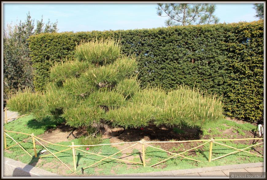 А вот и традиционное для Японии дерево бонсай, которому достаточно много лет. Его очень берегут, ведь вырастить такое дерево очень сложно.