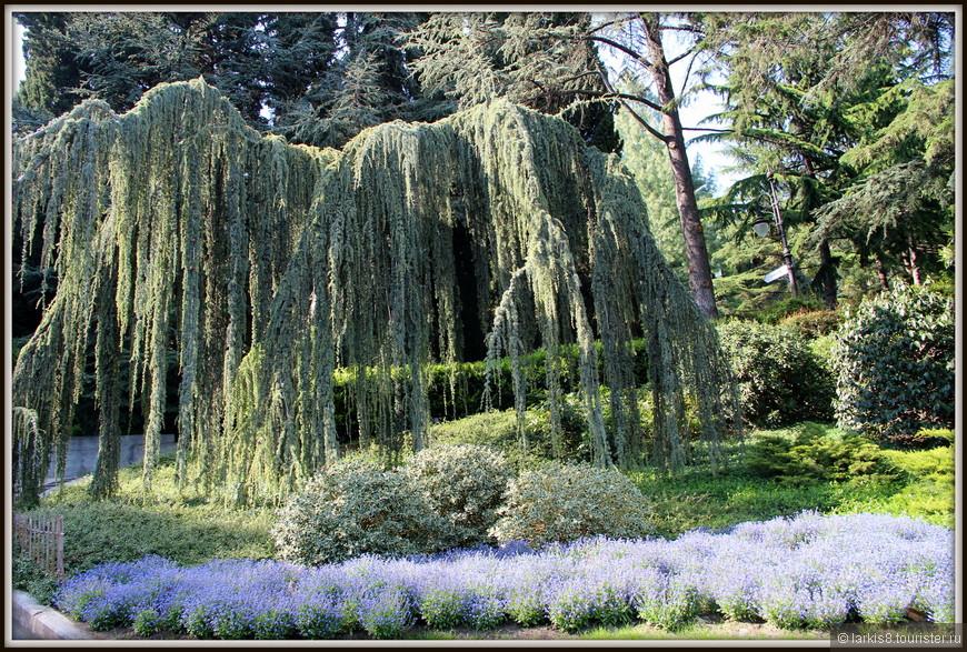 В парке очень много интересных деревьев. Одно из самых знаменитых - кедр атласский сизый плакучий. А еще там очень много обычных кедров.