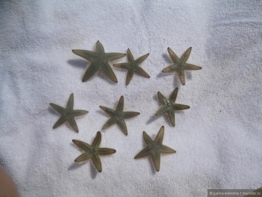 морские звездочки