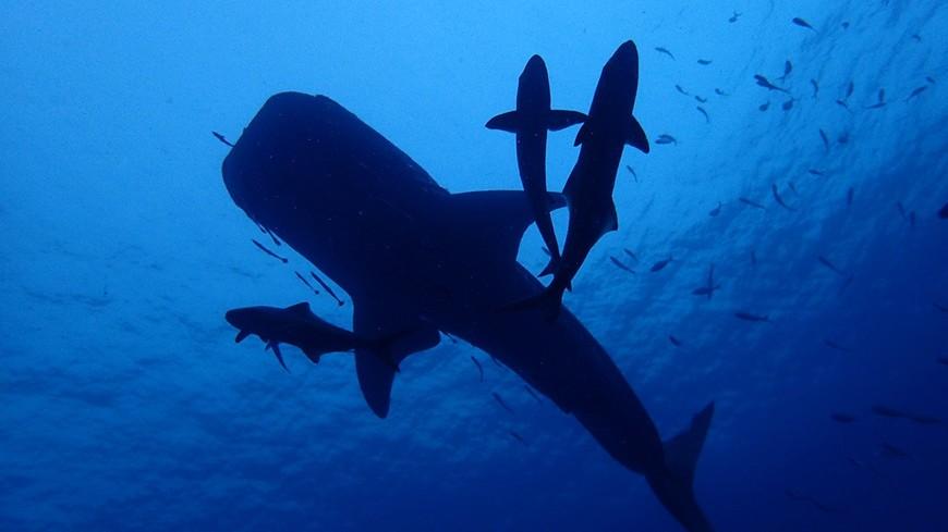 """Китовая акула со свитой из кобий проплывает над мачтой затопленного корабля """"Чанг""""."""