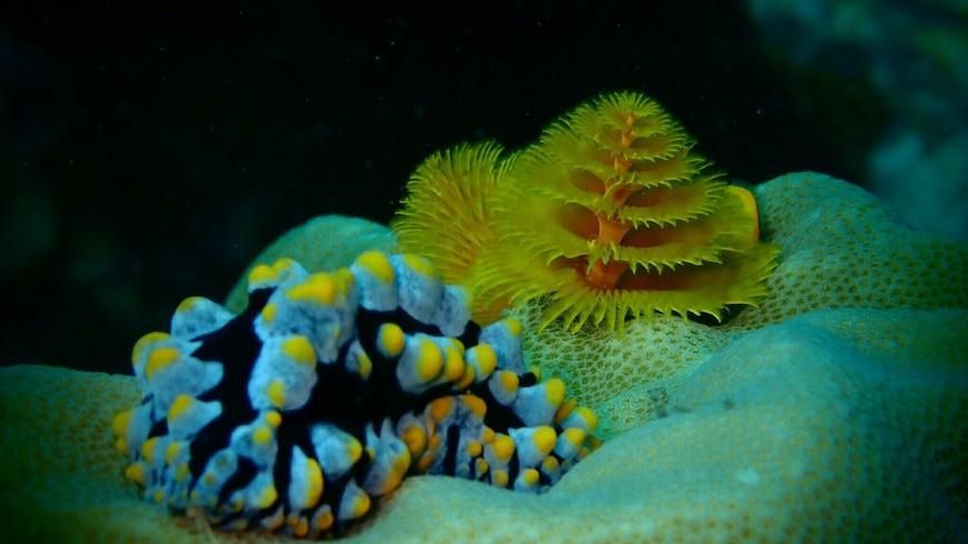 Голожаберный моллюск и хвост многощетинкового червя на коралле у скалы Хин-Рап.