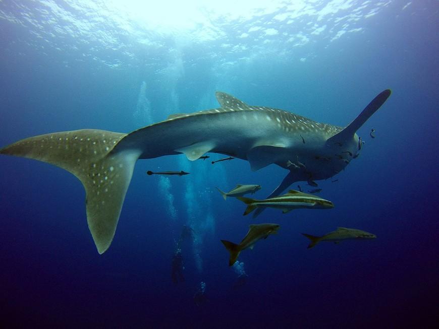 "Китовая акула и кобии на дайвсайте ""Chang Wreck""."