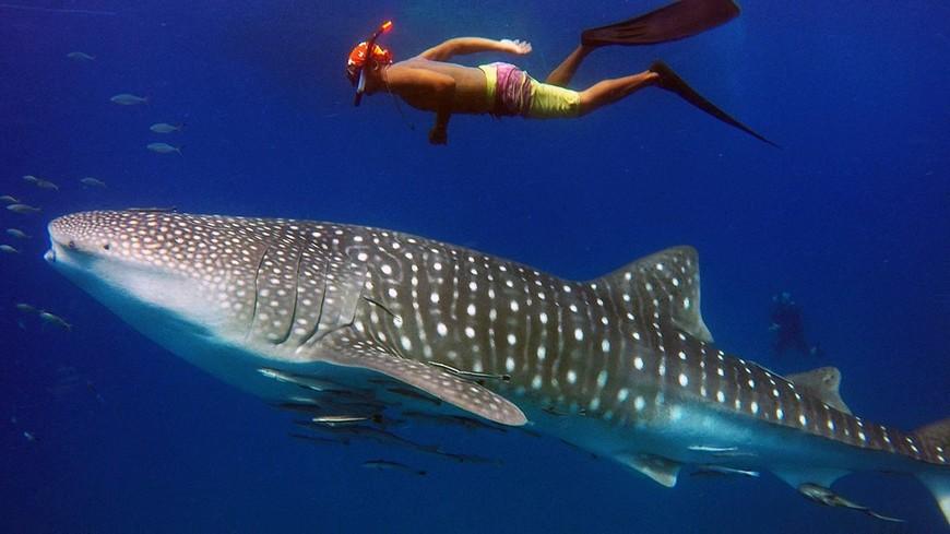 Китовая акула и снорклер плывут над большим затопленным кораблём.